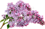 1442325321_multi-colored-lilac-04